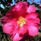 Camellia sasanqua Kanjiro - Semi-Double Pink