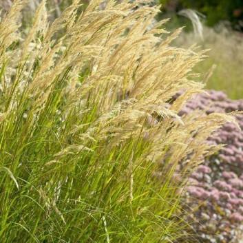 Stipa calamagrostis - Pheasant Grass