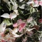 Trachelospermum jasminoides Chameleon - Rare Pink & White Variegation