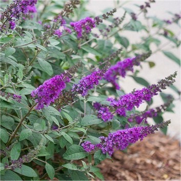 Buddleja 'Lo & Behold' Blue Chip - The Worlds First Patio Buddleia