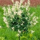 Euonymous fortunei Harlequin - Evergreen Standard Euonymus Tree