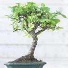Miniature Bonsai Tree in Presentation Gift Box