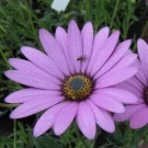 Osteospermum Tresco Purple - Cape Daisy