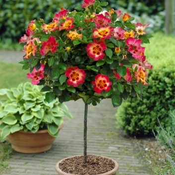 Pair of Standard Rose Trees - Babylon Eyes SUNSHINE - with BLACK Flared Planters