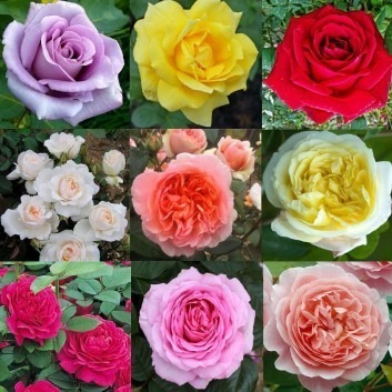 SPECIAL DEAL - Luxury Garden Roses - Premier Collection - PACK OF 4 Climbing and 6 Bush Roses