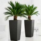 Pair of King Sago Palm Trees - Cycad - Cycas revoluta