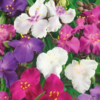 Tradescantia 'Shimmer Mixed Colours'