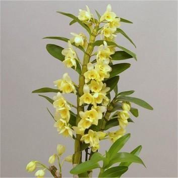 Dendrobium nobilis 'Vanilla' - Towering Nobile Orchid Premium Quality with Classic White Display Pot