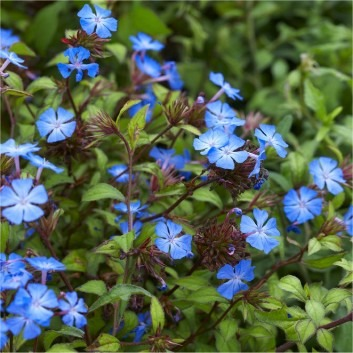Ceratostigma willmottianum 'Cote d'azure' - Pack of THREE - Hardy Cobalt-Blue Plumbago Plants