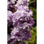 Syringa vulgaris  Katherine Havemeyer - Lilac