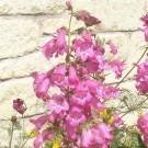 Penstemon Apple Blossom