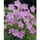 Geranium ''Wargrave Pink''