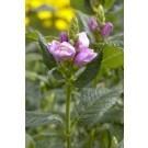 Chelone oblique - Turtle Head Flower