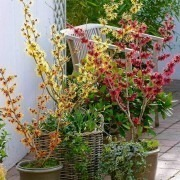 SPECIAL DEAL - Trio of Colourful Hamamelis Witch Hazel Plants