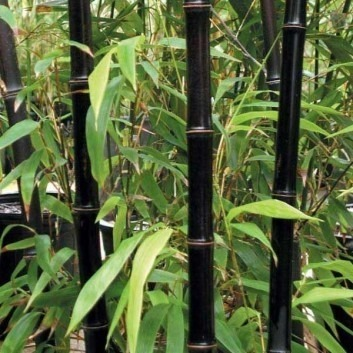 Phyllostachys nigra - Black Bamboo - Large Approx 6ft Tall Plants - Pack of Three +