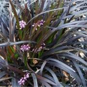 Ophiopogon planiscapus Nigrascens  - Black Mondo Grass - Pack of THREE Plants