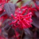 Loropetalum chinensis Ever Red (Chang Nian Hong) - Chinese Witch Hazel - Pack of THREE Plants