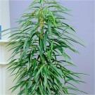 Ficus Alii - Large Indoor Ficus Houseplant - 120-140cm Specimen
