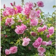 Rose Madame Gregoire Staechelin - Climbing Rose