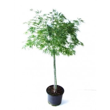 Large 100cm Weeping Acer Japanese Maple Trees - Dissectum Emerald Lace