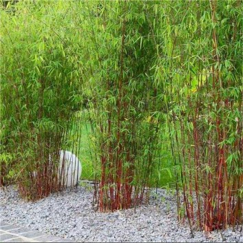 Pair of Fargesia ASIAN WONDER - Clumping Umbrella Bamboo Plants