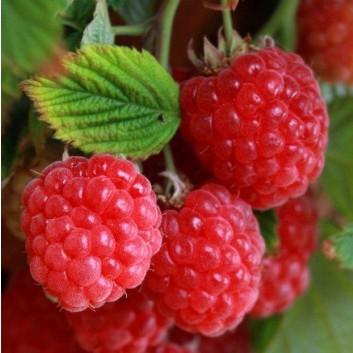 Raspberry Ruby Beauty - Dwarf Summer Fruiting Raspberry