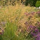 Stipa Gigantea - Golden Oats Grass - LARGE