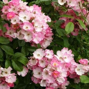 Rose Ballerina - Polyantha Shrub Rose