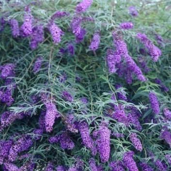 Buddleja davidii Black Knight - Buddleia - Butterfly Bush