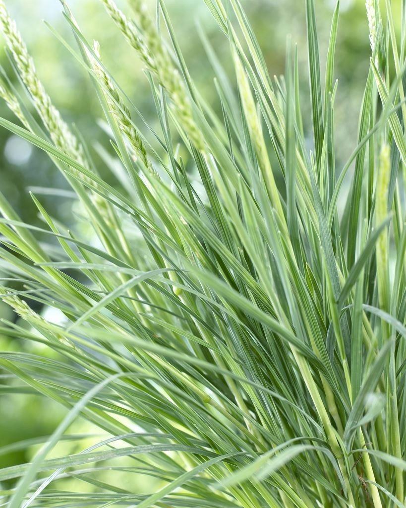 Blue grass black singles