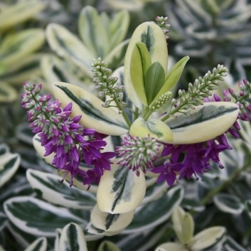 SPECIAL DEAL - Silver Queen Hebe franciscana Varigata - Pack of THREE Plants