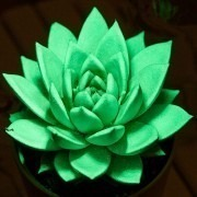 Echeveria 'Glowing Star' Plant