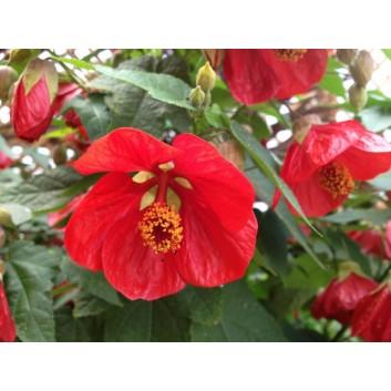 Abutilon hybrida ORANGE-RED - Flowering Maple