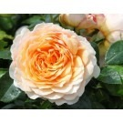 Rose Ginger Syllabub - Climbing Rose