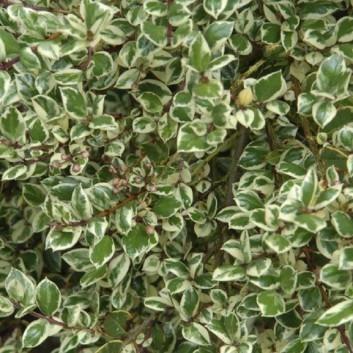 Luma apiculata (Myrtus) Glanleam Gold  - Variegated Myrtle