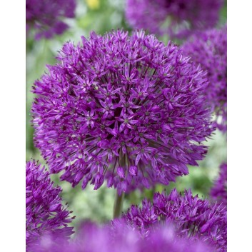 Allium Purple Sensation - Ornamental Onion Plant