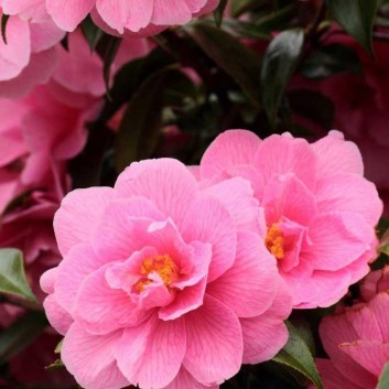 MOTHERS DAY GIFT PLANT - Pink Camellia bursting in to Flower