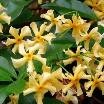Trachelospermum jasminoides Star of Toscane - Star Jasmin - Rhyncospermum
