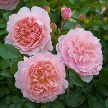 Rose Wildeve ® - David Austin ® Shrub Rose