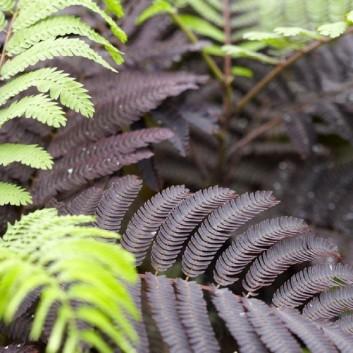 Albizia julibrissin Summer Chocolate - Purple Silk Tree Albizzia