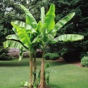 SPECIAL DEAL - Musa basjoo - Hardy Japanese Banana - Pack of Three