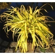 "Luzula sylvatica aurea ""Solar Flare"" -  Pack of THREE Golden Oranamental Grass Plants"