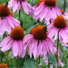Echinacea purpurea Rubinstern - Purple Cone Flower - Pack of THREE Plants