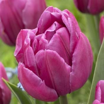 Tulipa Double You - Double Flowering Pink Tulips