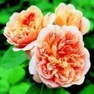 Rose Tea Clipper ® - David Austin ® Shrub Rose