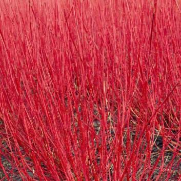 Cornus alba Sibirica - Red barked dog wood