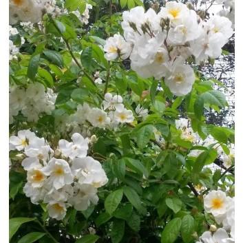 Rose Bobbie James - Multiflora Rambling Rose