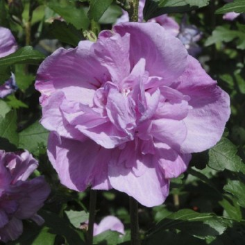 Hibiscus syriacus Ardens - Rose of Sharon
