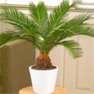 Cycad - Cycas revoluta - King Sago Palm Tree