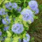 Caryopteris incana Sunshine Blue